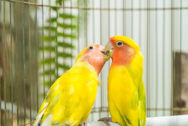 Schöne papagei lovebird