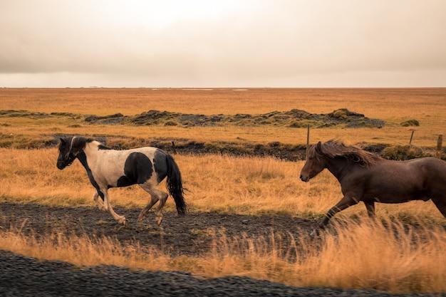 Schöne pferde, die in einem weiten feld laufen