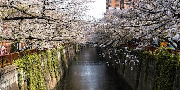 Schöne pfirsichbaumblüte in japan