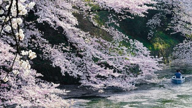 Schöne pfirsichbaumblüte