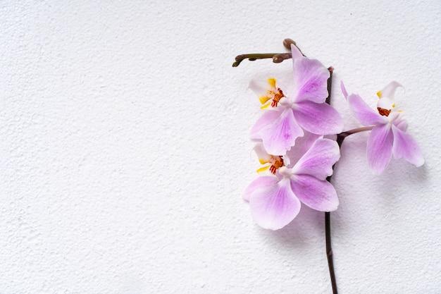 Schöne phalaenopsis orchideenblüten blühen, verspotten auf weißer oberfläche