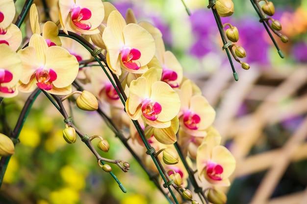 Schöne phalaenopsis-orchideenblume, die im gartenblumenhintergrund blüht