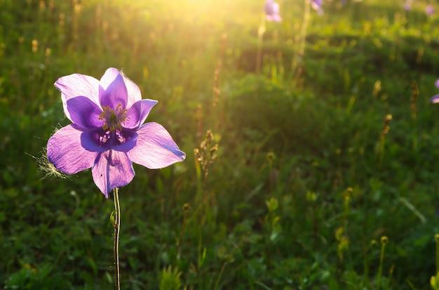 Schöne purpurrote aquilegiablume in den strahlen der sonne