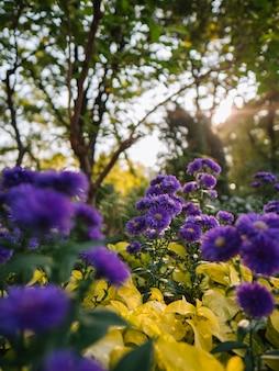 Schöne purpurrote blumen mit gelben blättern