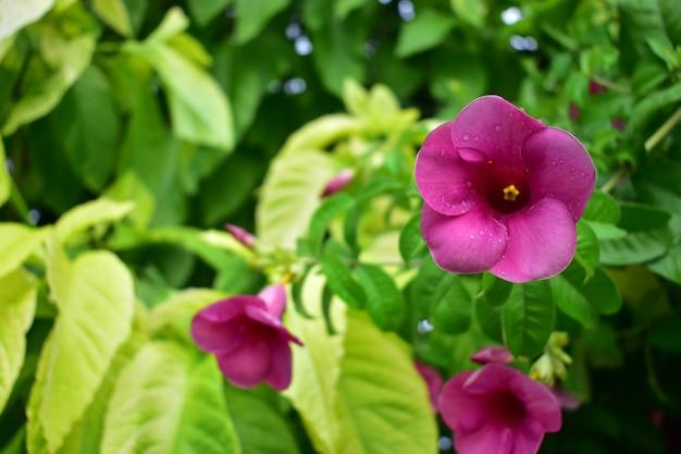 Schöne purpurrote blumen mit grünen blättern