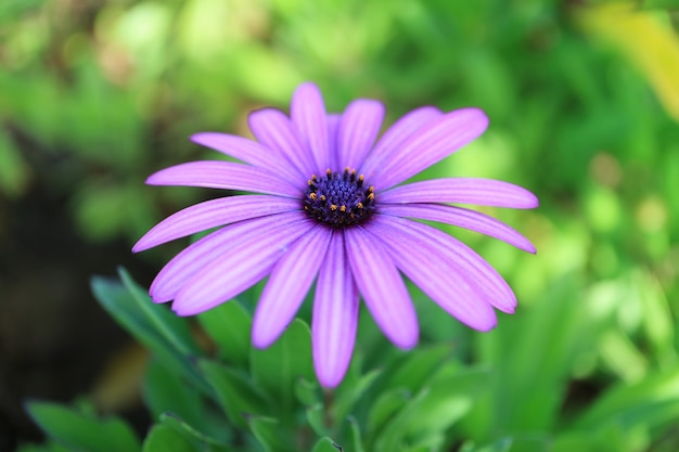 Schöne purpurrote gänseblümchenblume auf osterinsel von chile
