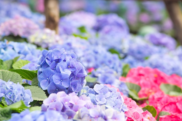 Schöne purpurrote hortensieblume in den naturgarten purpurroten hortensieblumen-blumenstraußblumen