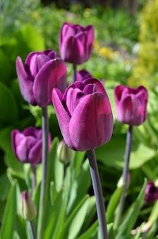 Schöne purpurrote tulpen - naher hoher schuss