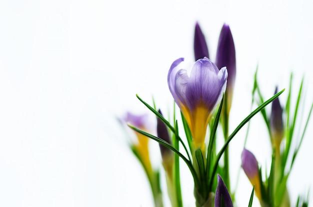 Schöne purpurrote violette krokusse im topf mit copyspace. frühlingskonzept