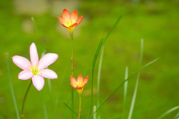 Schöne regenlilie (zephyranthes), die im garten blüht.