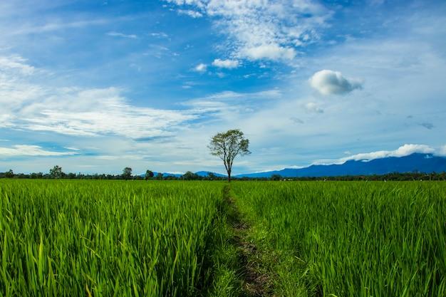 Schöne reisfelder im distrikt aceh besar provinz aceh