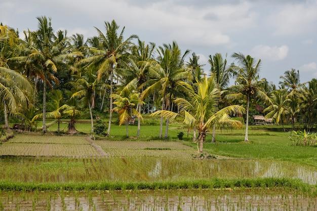 Schöne reisfelder in bali, indonesien.