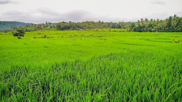 Schöne reisterrassen im morgenlicht nahe tegallalang-dorf, ubud, bali, indonesien.