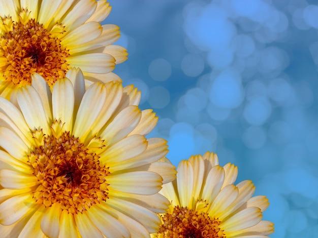 Schöne ringelblumen auf blauem hintergrund jedoch unscharf. festliches blumenkonzept. blumenkarte mit blumen, kopienraum.