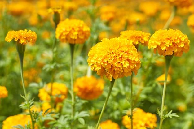 Schöne ringelblumenblumen