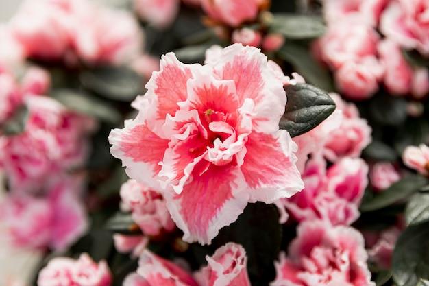 Schöne rosa blühende blume der nahaufnahme