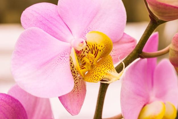 Schöne rosa blüte mit gelbem stempel