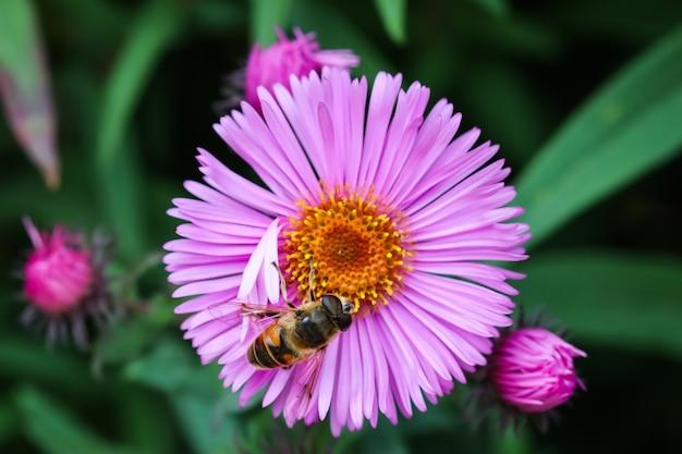 Schöne rosa blüten der herbstaster mit einer biene im garten