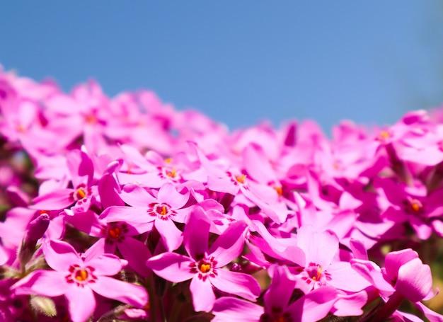 Schöne rosa blüten phlox im frühjahr gegen blauen himmel