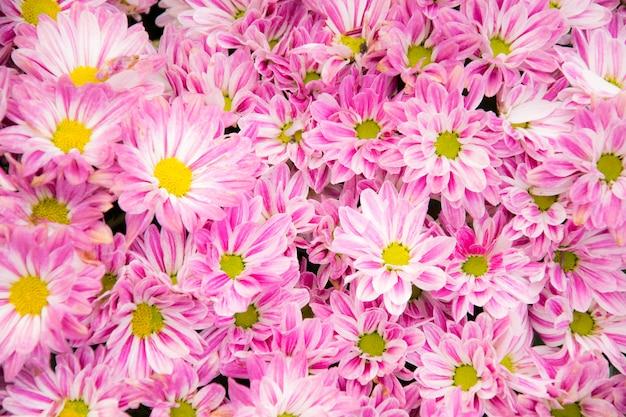 Schöne rosa chrysantheme blüht hintergrund