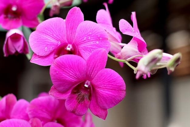 Schöne rosa farborchideenblume.