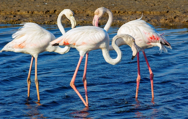 Schöne rosa flamingos, die durch die lagune laufen und nach nahrung suchen?