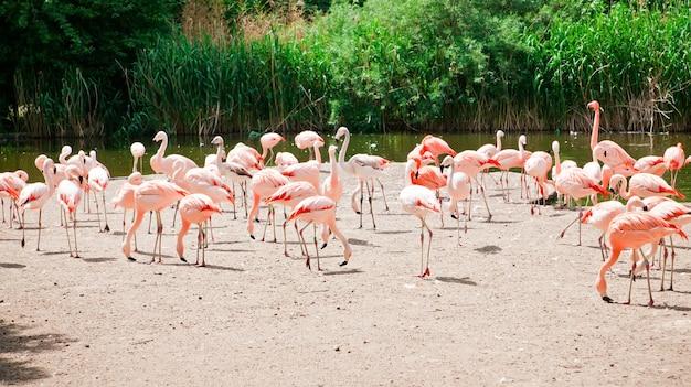 Schöne rosa flamingos in einem natürlichen zoo