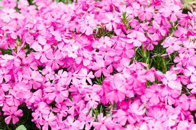 Schöne rosa flammenblume.