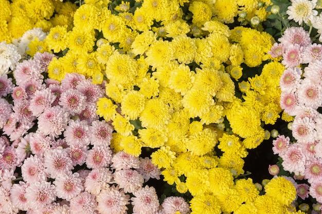 Schöne rosa, gelbe und weiße chrysantheme oder dendranthema grandiflorablumen