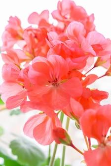 Schöne rosa geranie