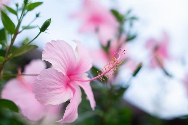 Schöne rosa hibiskusblüten blühen