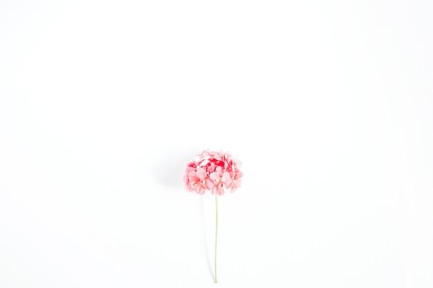 Schöne rosa hortensie-blume isoliert auf weißem hintergrund. flache lage, ansicht von oben