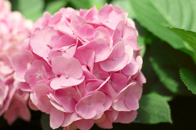 Schöne rosa hortensieblumen, die im garten blühen.