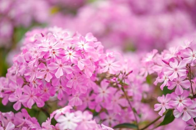 Schöne rosa hortensienblüten im garten