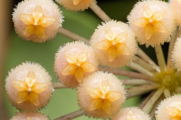 Schöne rosa hoya-blume oder wachsblume ist klein und niedlich