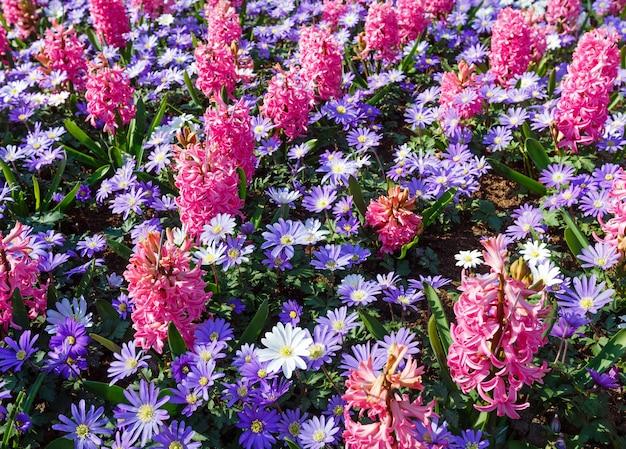 Schöne rosa hyazinthen und blaue blumen im frühling