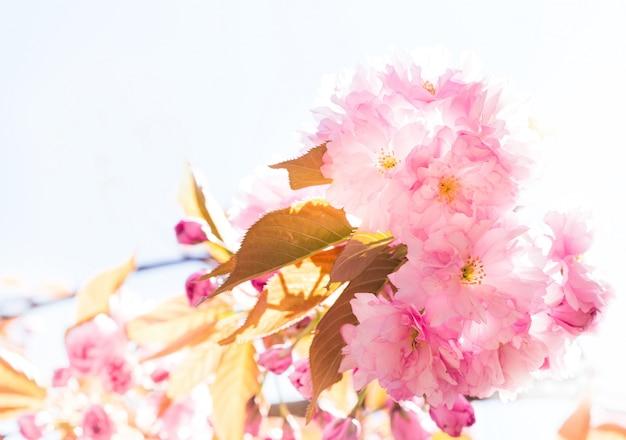 Schöne rosa kirschblüte.