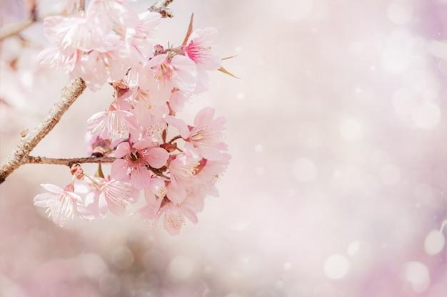 Schöne rosa kirschblüten-sakura der nahaufnahme im frühjahr über weichem hintergrund mit bokeh.