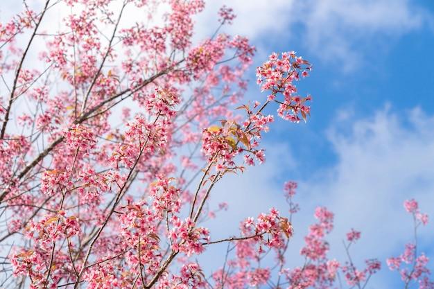 Schöne rosa kirschprunus cerasoides wilde himalaya-kirsche wie sakusa-blume, die an nordthailand, chiang mai, thailand blüht.