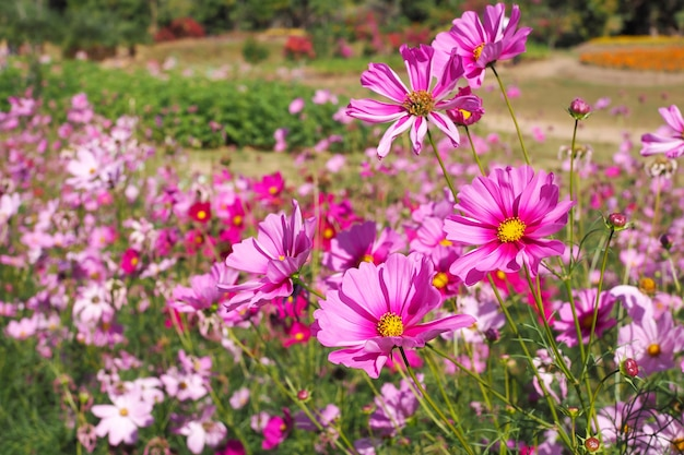 Schöne rosa kosmosblumen, die in den naturlandschaften blühen