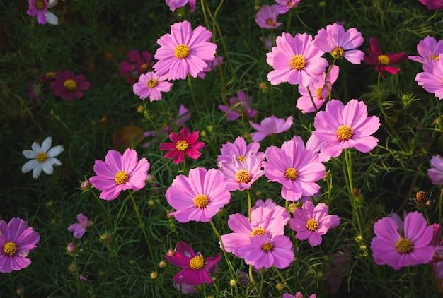 Schöne rosa kosmosblumen im garten,