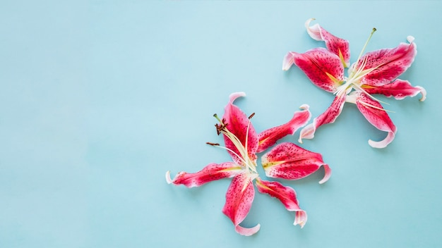 Schöne rosa lilien auf blauem