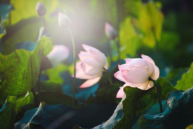 Schöne rosa lotosblume der nahaufnahme im teich.
