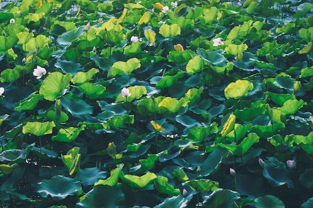 Schöne rosa lotosblume im teich