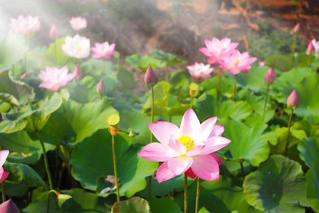 Schöne rosa lotosblume in der natur mit sonnenaufgang für hintergrund