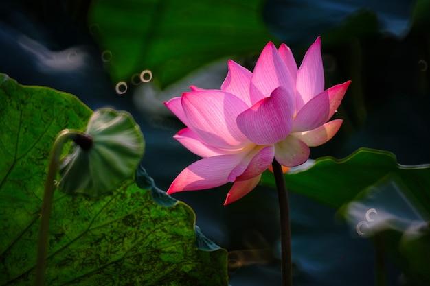 Schöne rosa lotosblumenblüte mit blatt im teich.