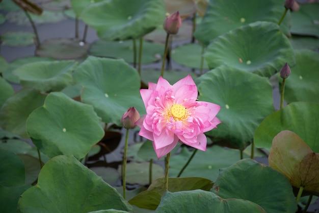 Schöne rosa lotusblume, die in einer herbstsaison am teichreinheitsnaturhintergrund blüht.