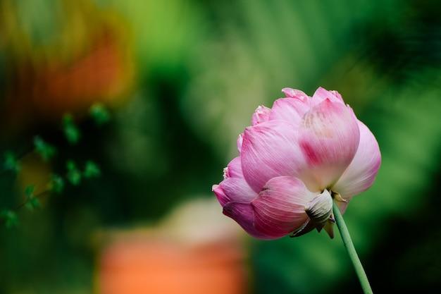 Schöne rosa lotusblume im teich
