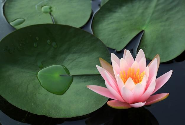 Schöne rosa lotusblumenblüte im teich