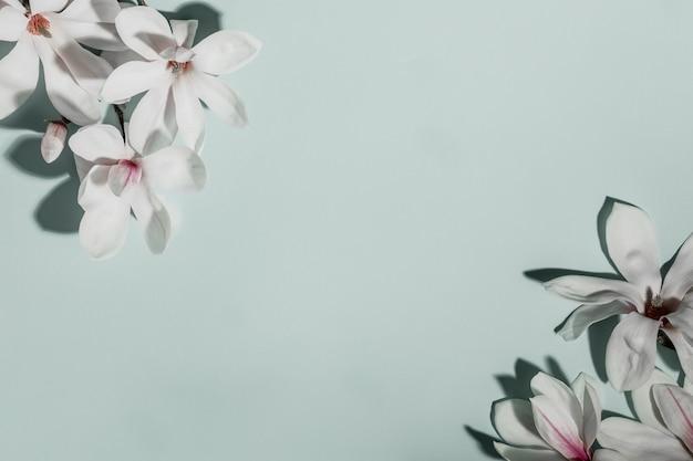 Schöne rosa magnolienblumen auf blauem hintergrund. draufsicht. flach liegen. frühling minimalistisches konzept
